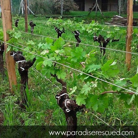 PR Vines