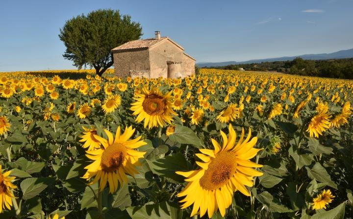 Sunflower villa