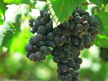 Syrah Grapes