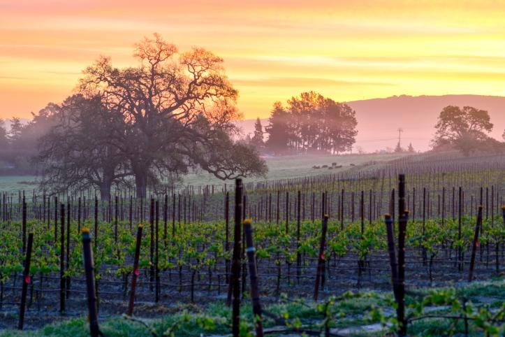 Vineyard Sunrise istock