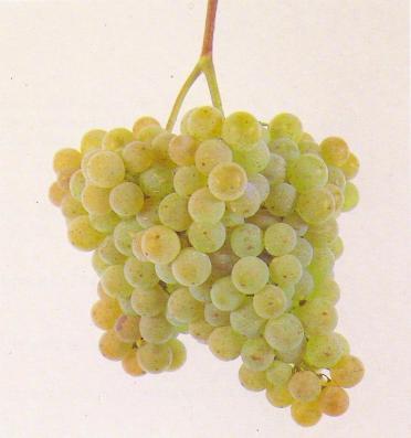 Albarino Grapes