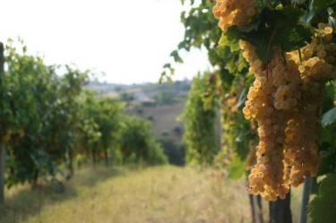 Pecorino Grapes