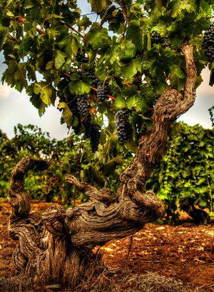 barossa-ancestor-vine