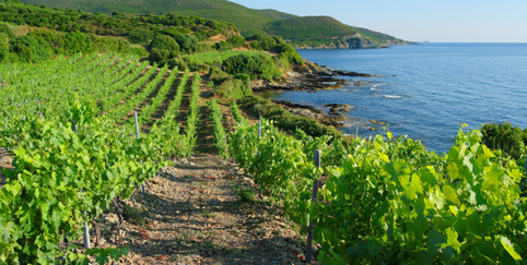 corse-vineyard