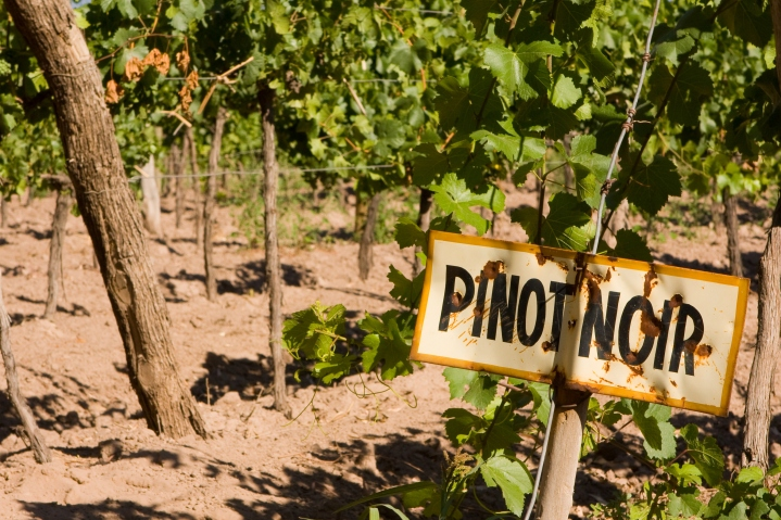 Pinot Noir Vineyard