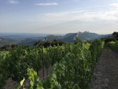 VIognier Vines Domaine Saint Amant Website