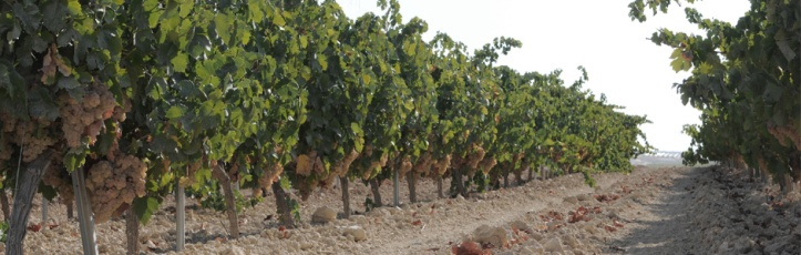 Bodegas Oliveros Vineyards