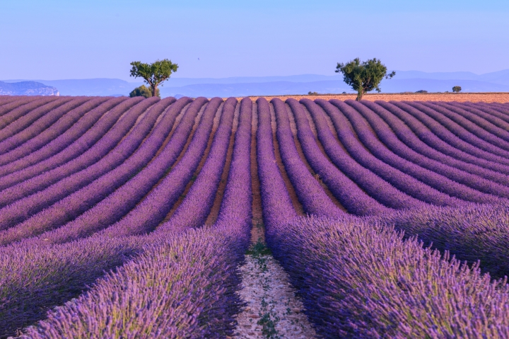 Lavender field in the summer-France