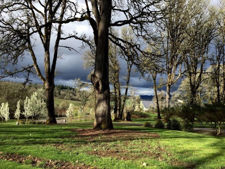 White Oak Trees Left Coast Cellars