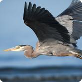symbol_blue-heron