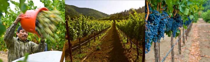 Pedroncelli Vineyards