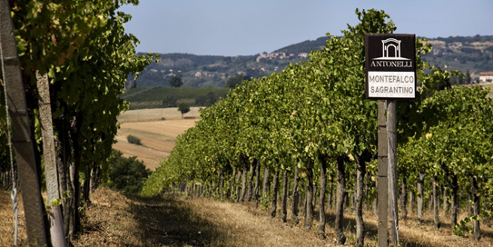 Sagrantino Vineyard Slope website