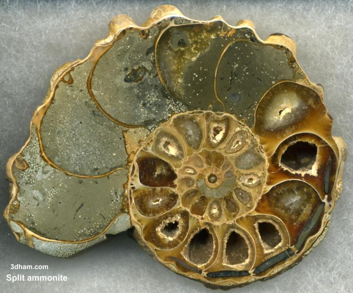Split Ammonite wikimedia commons John Alan Elson